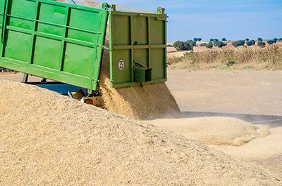 Recolectando el trigo en Las Terceras
