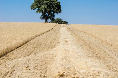 Tractores recolectando el cereal en Las Terceras