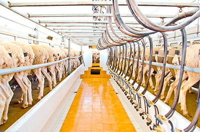 milking process