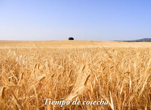 La cosecha del cereal en Las Terceras
