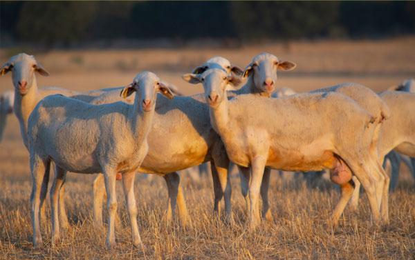 nuestras ovejas manchegas