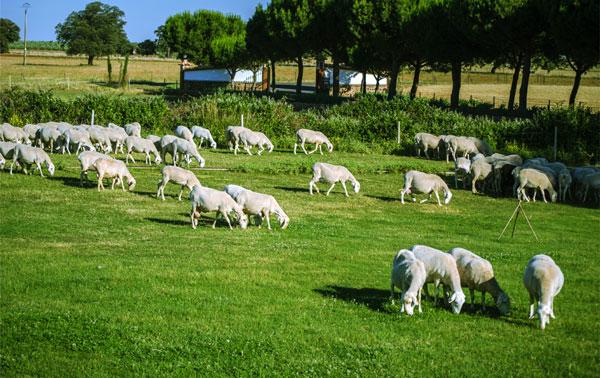 Nuestro ganado pace libremente en nuestras tierras