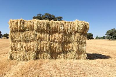 El trigo como alimento para nuestro ganado