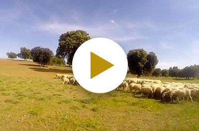 Nuestro ganado de pura raza manchega pastando en la finca
