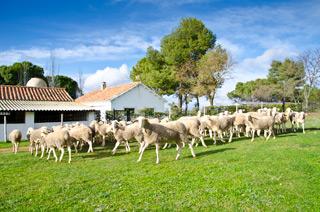 Labrando la tierra para plantar cerelaes para nuestras ovejas